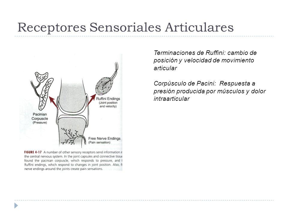 Receptores Sensoriales Articulares Terminaciones de Ruffini: cambio de posición y velocidad de movimiento articular Corpúsculo de Pacini: Respuesta a