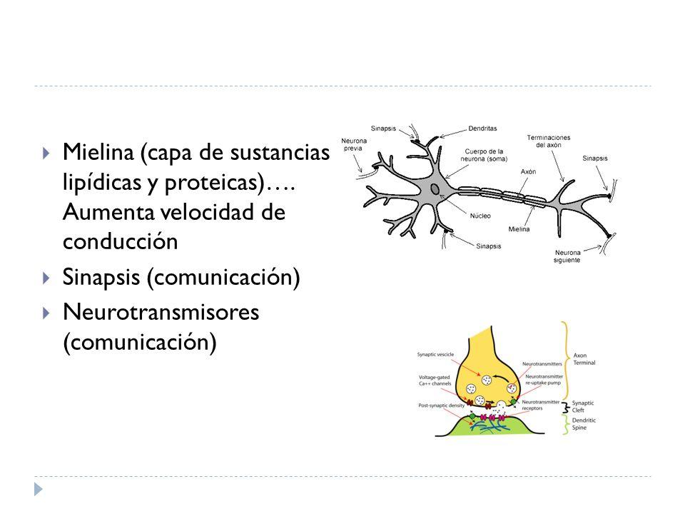 Mielina (capa de sustancias lipídicas y proteicas)…. Aumenta velocidad de conducción Sinapsis (comunicación) Neurotransmisores (comunicación)