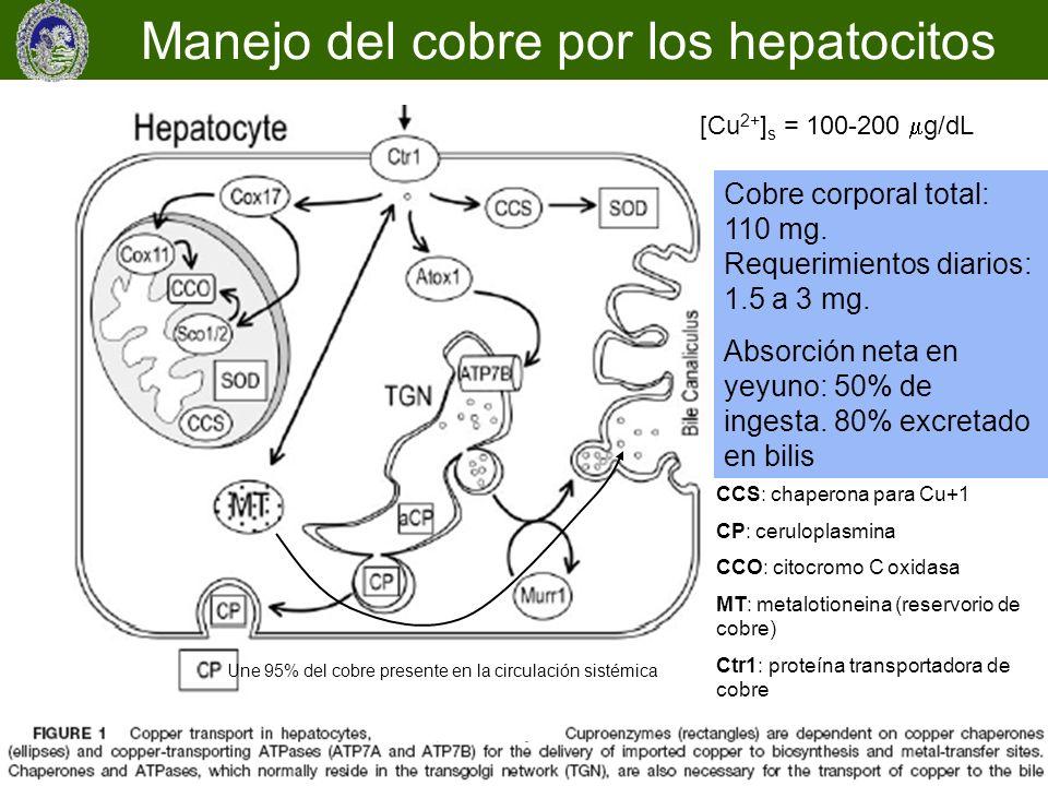 CCS: chaperona para Cu+1 CP: ceruloplasmina CCO: citocromo C oxidasa MT: metalotioneina (reservorio de cobre) Ctr1: proteína transportadora de cobre C