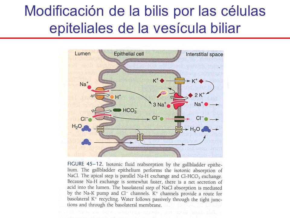Modificación de la bilis por las células epiteliales de la vesícula biliar