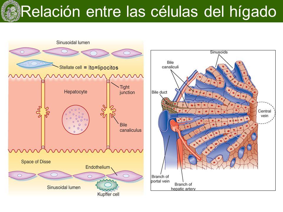 Relación entre las células del hígado = Ito=lipocitos