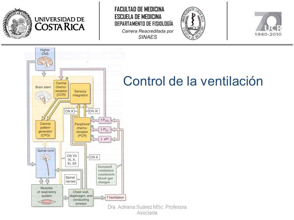 Respuestas integradas a cambios en la P a O 2 La hipoxia deprime la ventilación en animales con denervación de quimiorreceptores periféricos.