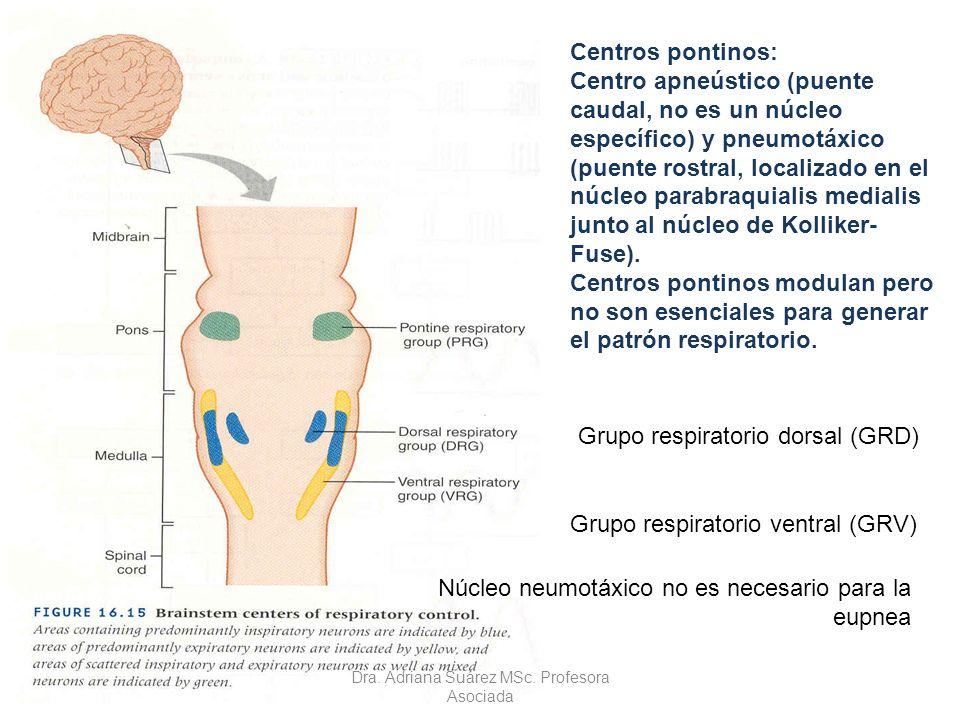 Centros pontinos: Centro apneústico (puente caudal, no es un núcleo específico) y pneumotáxico (puente rostral, localizado en el núcleo parabraquialis