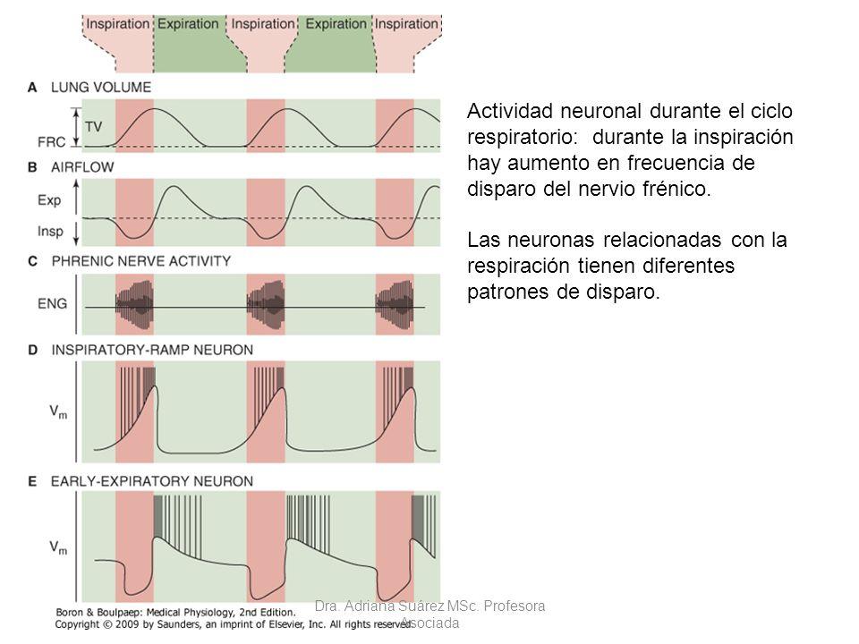 Actividad neuronal durante el ciclo respiratorio: durante la inspiración hay aumento en frecuencia de disparo del nervio frénico. Las neuronas relacio