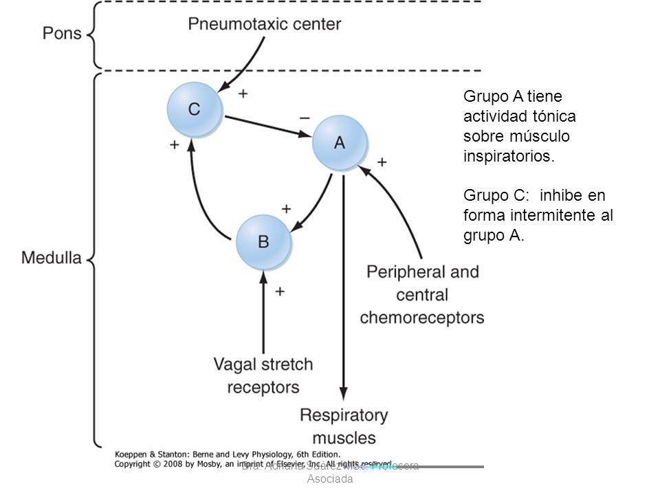 Grupo A tiene actividad tónica sobre músculo inspiratorios. Grupo C: inhibe en forma intermitente al grupo A. Dra. Adriana Suárez MSc. Profesora Asoci