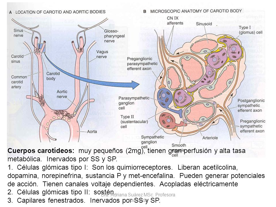 Cuerpos carotídeos: muy pequeños (2mg), tienen gran perfusión y alta tasa metabólica. Inervados por SS y SP. 1. Células glómicas tipo I: Son los quimi