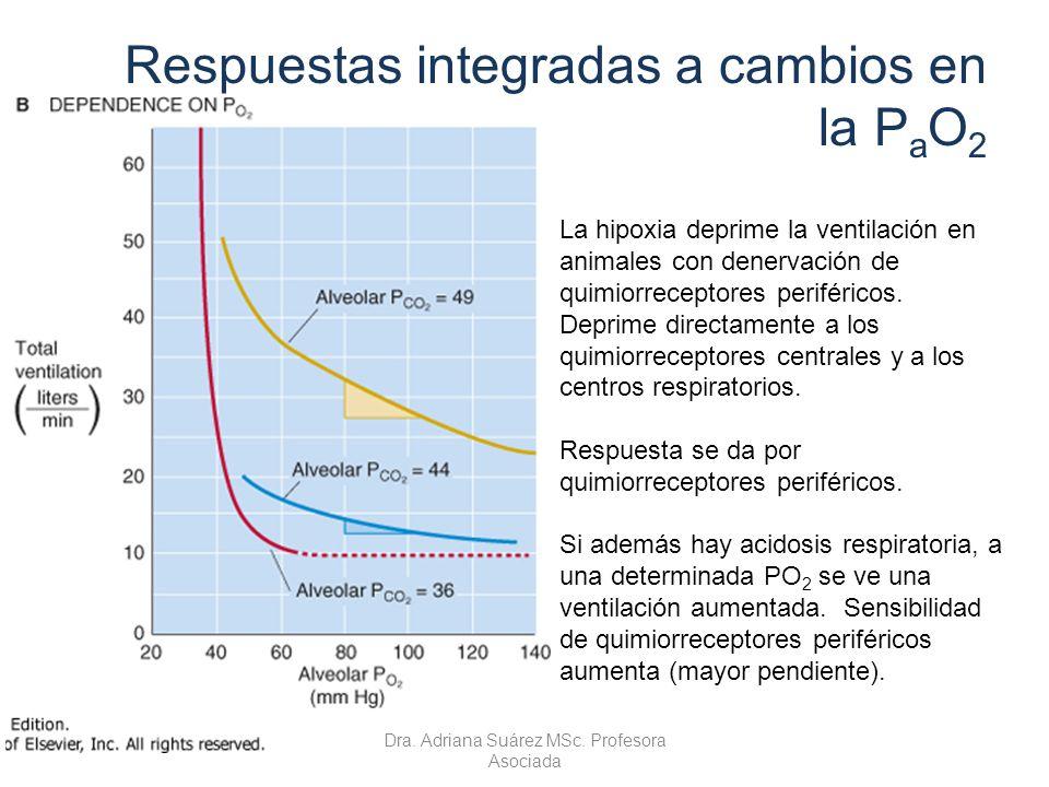 Respuestas integradas a cambios en la P a O 2 La hipoxia deprime la ventilación en animales con denervación de quimiorreceptores periféricos. Deprime