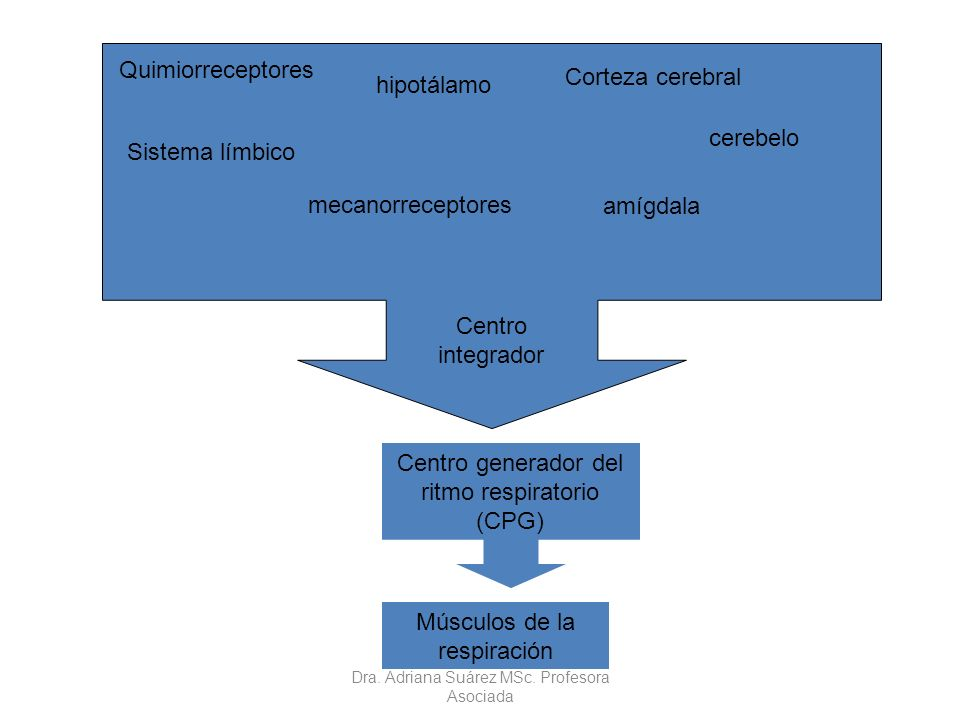 Centro integrador Centro generador del ritmo respiratorio (CPG) cerebelo amígdala Sistema límbico hipotálamo Quimiorreceptores Corteza cerebral mecano