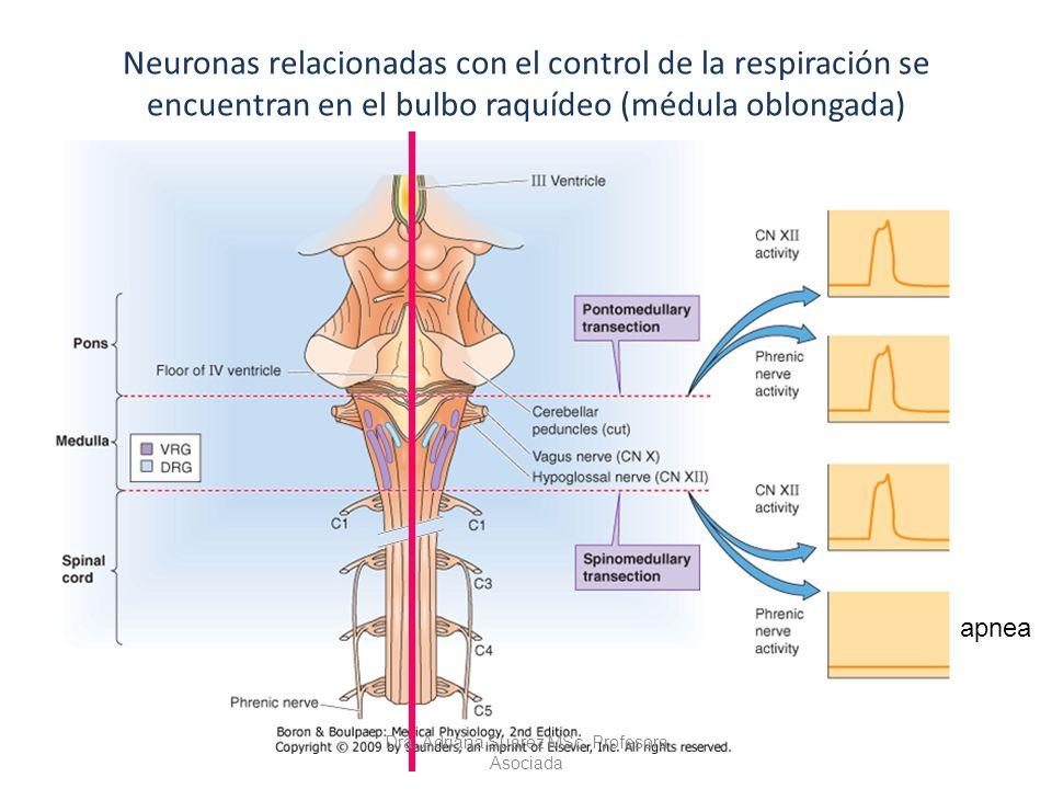 Neuronas relacionadas con el control de la respiración se encuentran en el bulbo raquídeo (médula oblongada) apnea Dra. Adriana Suárez MSc. Profesora