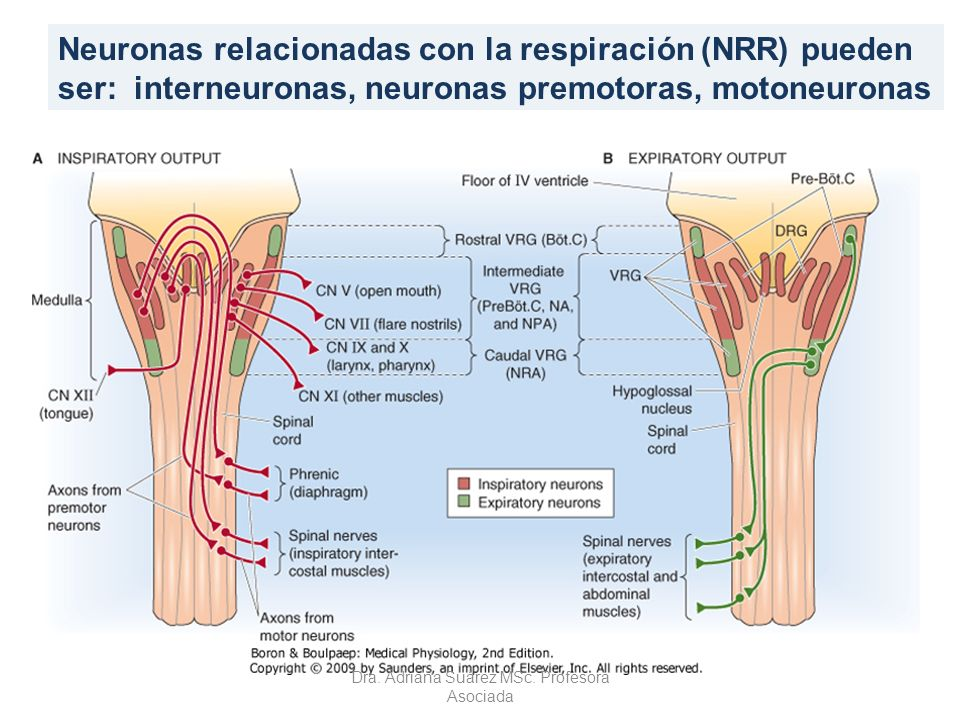 Neuronas relacionadas con la respiración (NRR) pueden ser: interneuronas, neuronas premotoras, motoneuronas Dra. Adriana Suárez MSc. Profesora Asociad