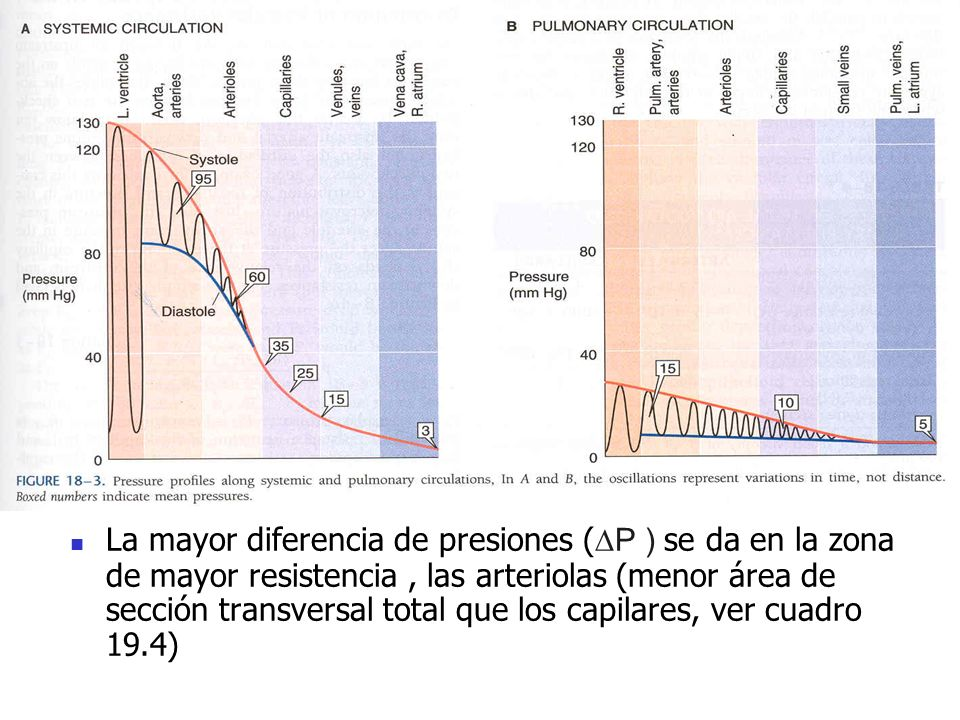 La mayor diferencia de presiones (P ) se da en la zona de mayor resistencia, las arteriolas (menor área de sección transversal total que los capilares