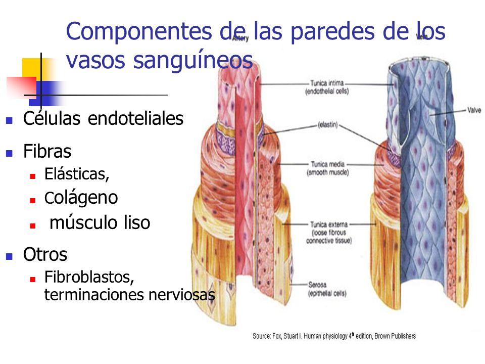Componentes de las paredes de los vasos sanguíneos Células endoteliales Fibras Elásticas, C olágeno músculo liso Otros Fibroblastos, terminaciones ner