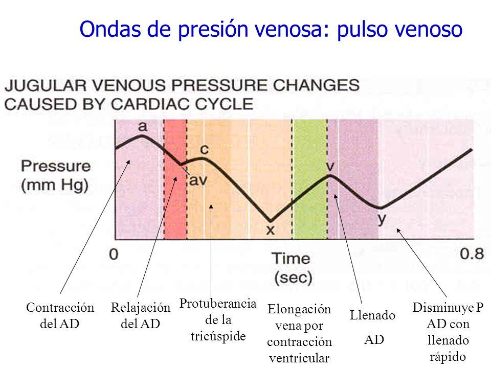 Ondas de presión venosa: pulso venoso Contracción del AD Relajación del AD Protuberancia de la tricúspide Elongación vena por contracción ventricular
