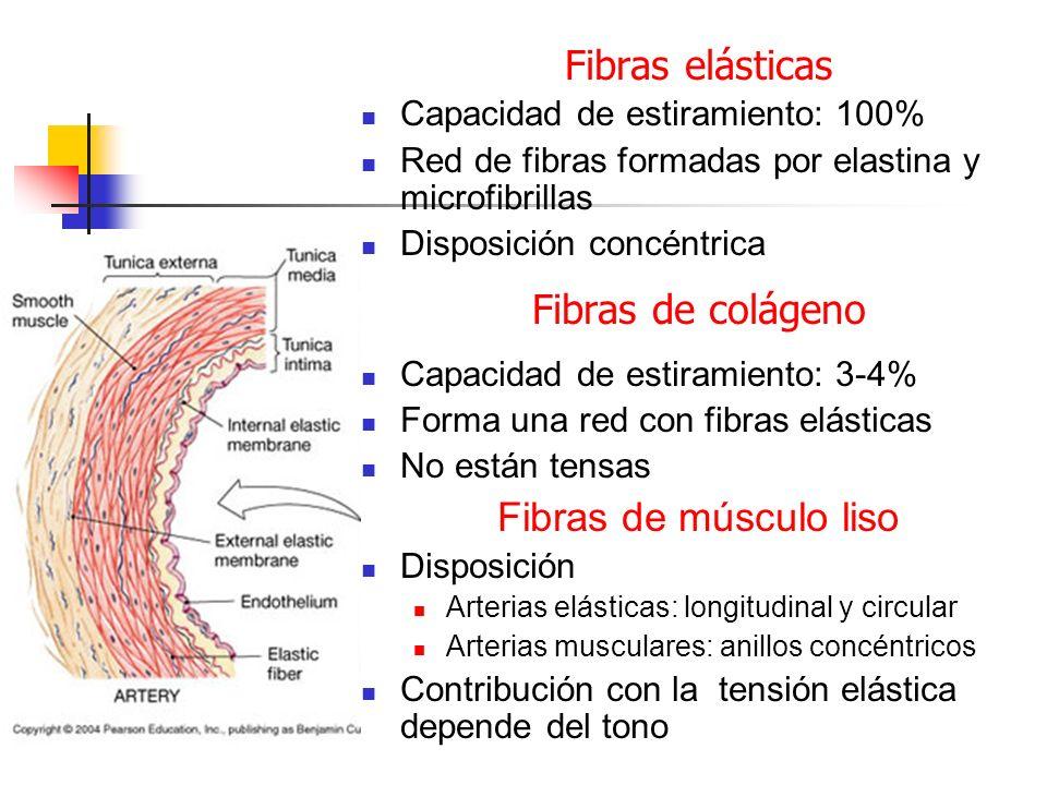 Fibras elásticas Capacidad de estiramiento: 100% Red de fibras formadas por elastina y microfibrillas Disposición concéntrica Fibras de colágeno Capac