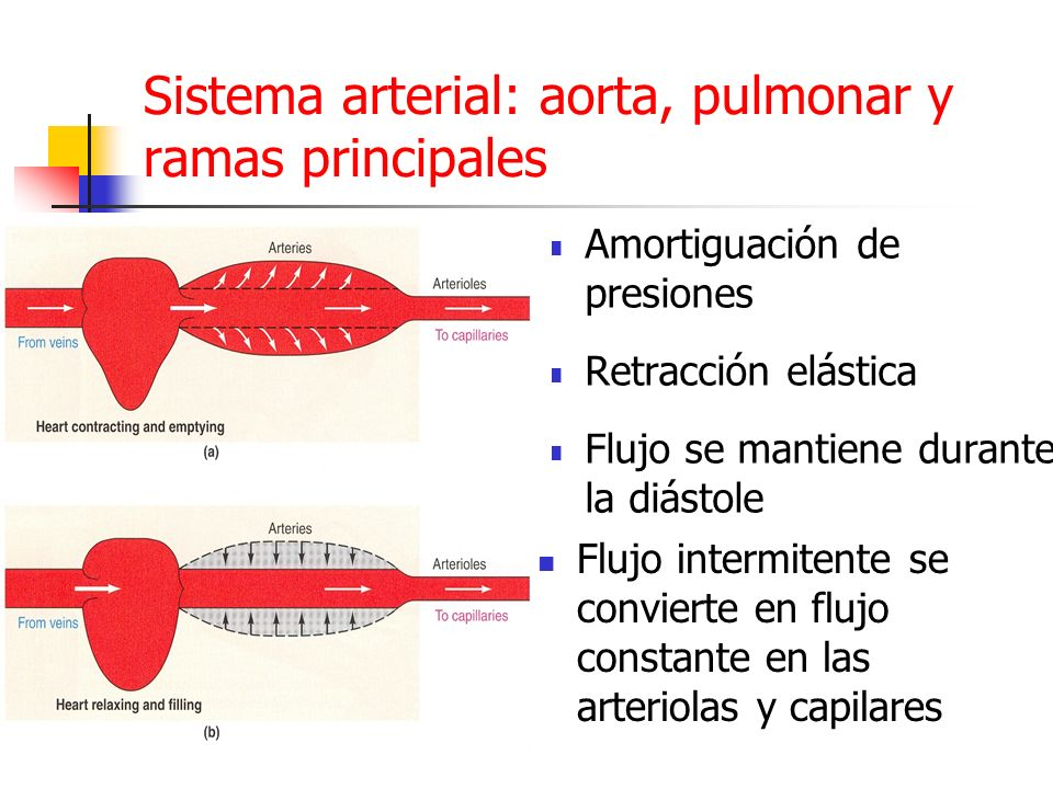 Sistema arterial: aorta, pulmonar y ramas principales Amortiguación de presiones Retracción elástica Flujo se mantiene durante la diástole Flujo inter