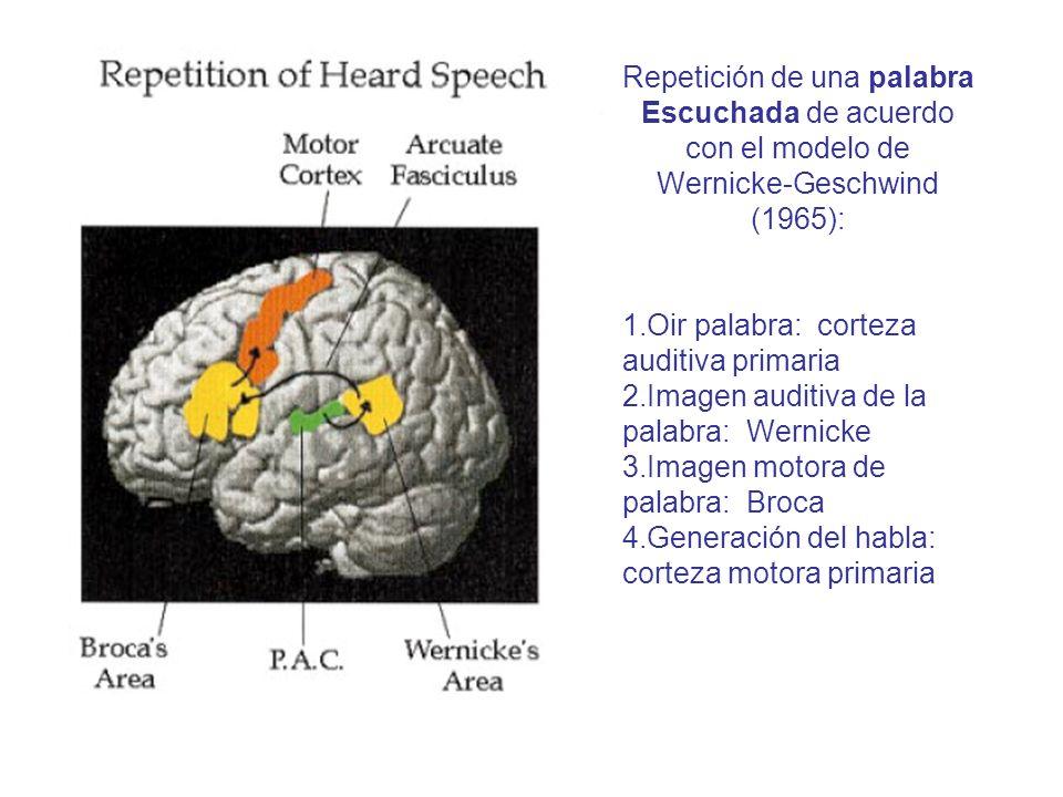 Repetición de una palabra Escuchada de acuerdo con el modelo de Wernicke-Geschwind (1965): 1.Oir palabra: corteza auditiva primaria 2.Imagen auditiva