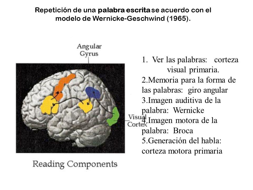 Repetición de una palabra escrita se acuerdo con el modelo de Wernicke-Geschwind (1965). 1. Ver las palabras: corteza visual primaria. 2.Memoria para