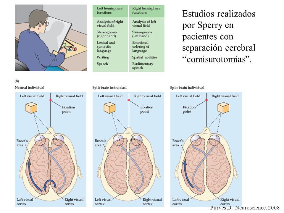 Purves D. Neuroscience, 2008 Estudios realizados por Sperry en pacientes con separación cerebralcomisurotomías.