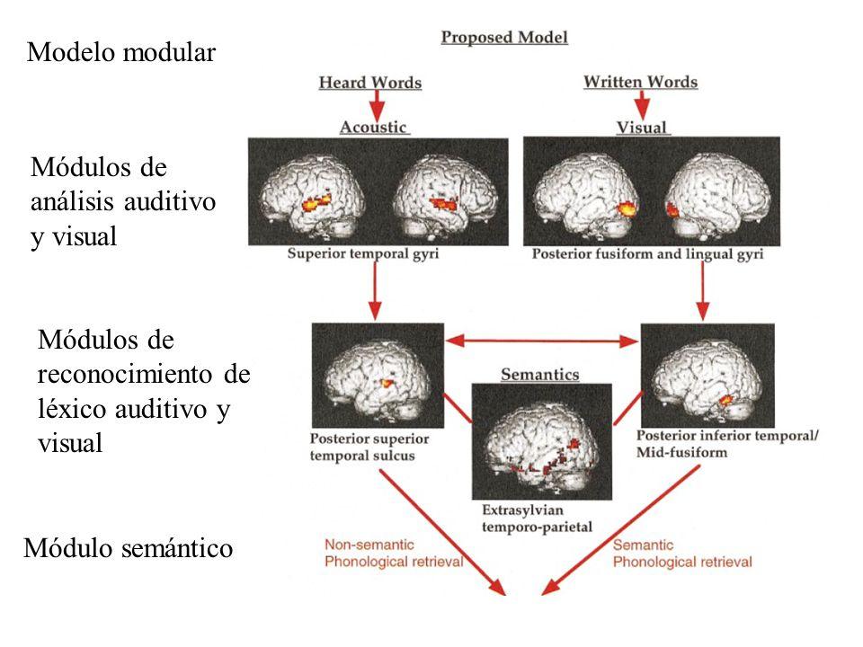 Modelo modular Módulos de análisis auditivo y visual Módulos de reconocimiento de léxico auditivo y visual Módulo semántico