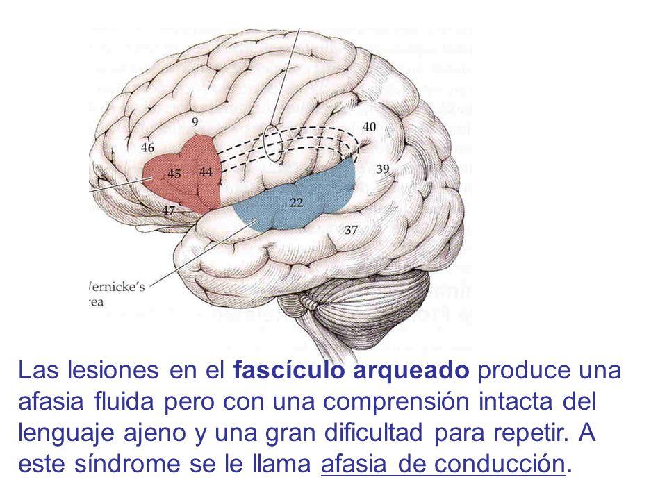 Las lesiones en el fascículo arqueado produce una afasia fluida pero con una comprensión intacta del lenguaje ajeno y una gran dificultad para repetir