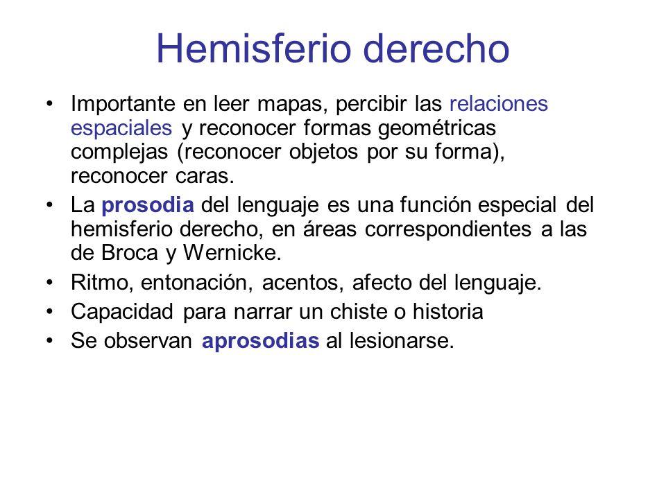 Hemisferio derecho Importante en leer mapas, percibir las relaciones espaciales y reconocer formas geométricas complejas (reconocer objetos por su for