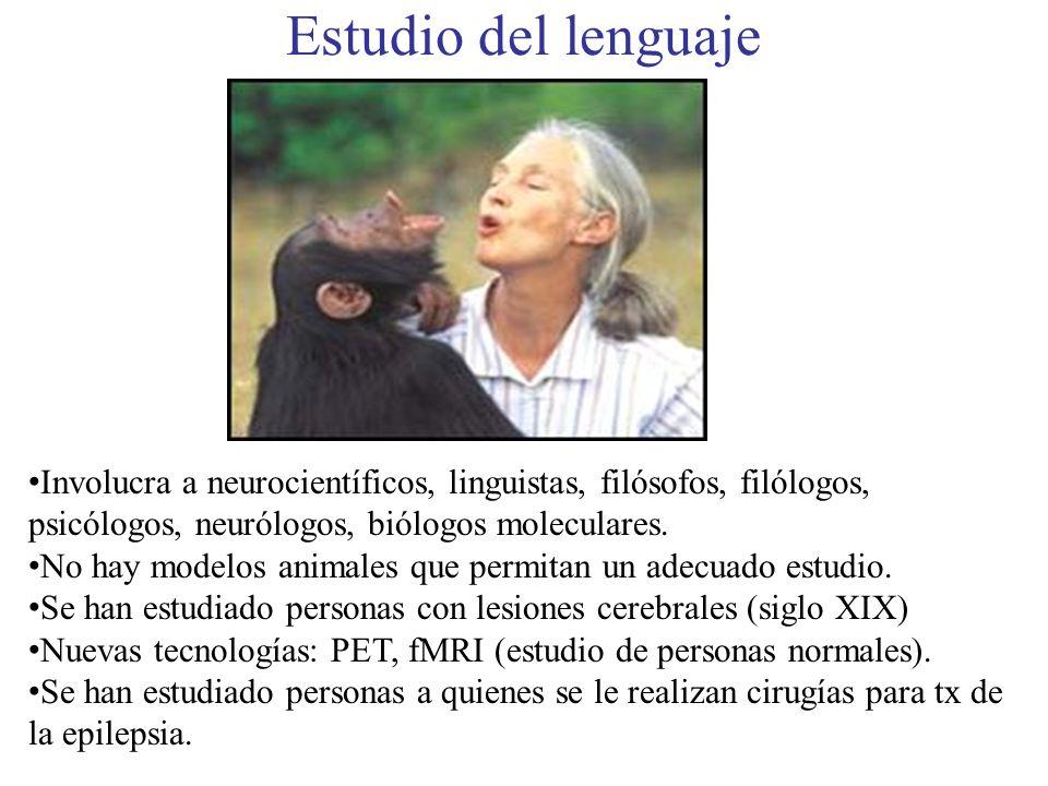 Estudio del lenguaje Involucra a neurocientíficos, linguistas, filósofos, filólogos, psicólogos, neurólogos, biólogos moleculares. No hay modelos anim