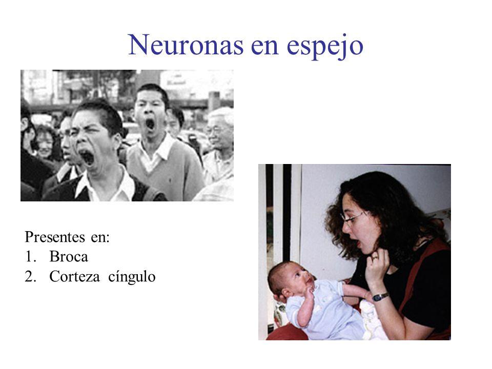 Neuronas en espejo Presentes en: 1.Broca 2.Corteza cíngulo