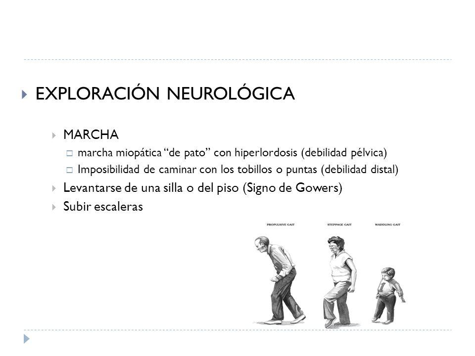 EXPLORACIÓN NEUROLÓGICA MARCHA marcha miopática de pato con hiperlordosis (debilidad pélvica) Imposibilidad de caminar con los tobillos o puntas (debi