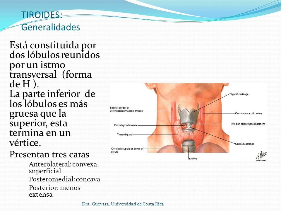 Glándula tiroides El istmo Reúne los 2 lóbulos Tiene una cara anterior convexa y una cara posterior cóncava Se encuentra sobre los primeros 2 anillos traqueales.