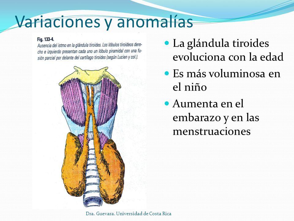 Variaciones y anomalías El istmo en ocasiones puede estar ausente o puede hipertrofiarse en un verdadero lóbulo medio.