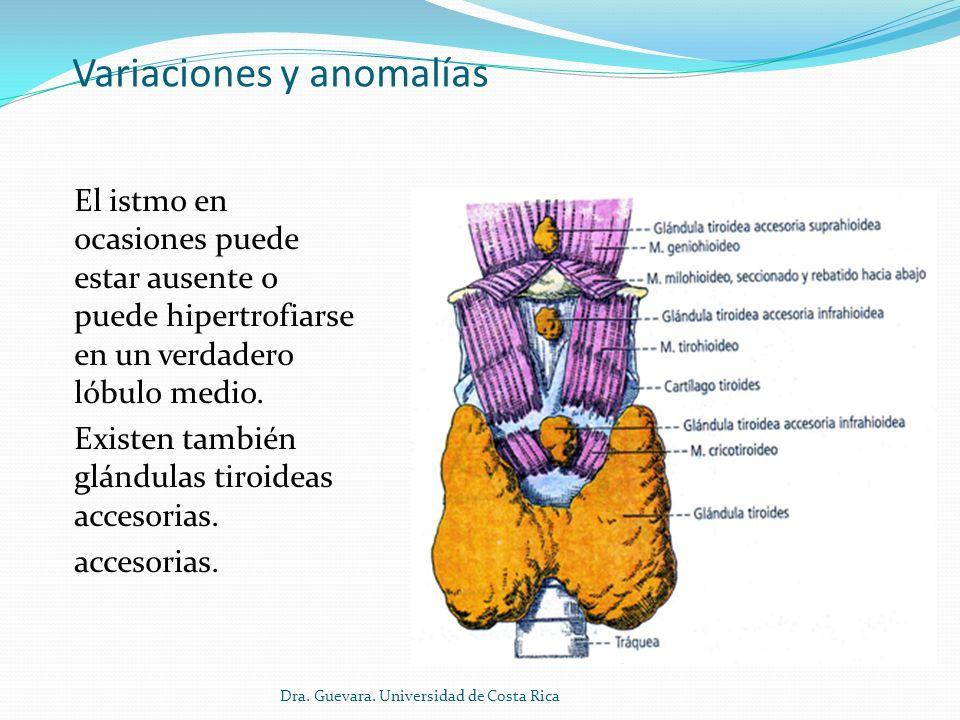 Relaciones La glándula está rodeada por una cápsula fibrosa que la envuelve y emite prolongaciones hacia su interior.