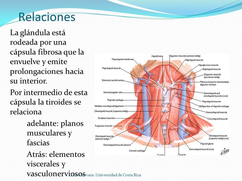 Relaciones Anterolaterales (superficiales) Corresponden a Cara anterior del istmo Cara anterolateral de los lóbulos Está cubiertos por (de afuera hacia adentro) Piel Tejido celular subcutáneo Músculo platísma Hoja superficial de la fascia cervical (entre los m.