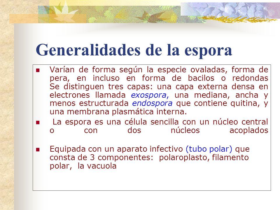 Generalidades de la espora Varían de forma según la especie ovaladas, forma de pera, en incluso en forma de bacilos o redondas Se distinguen tres capa
