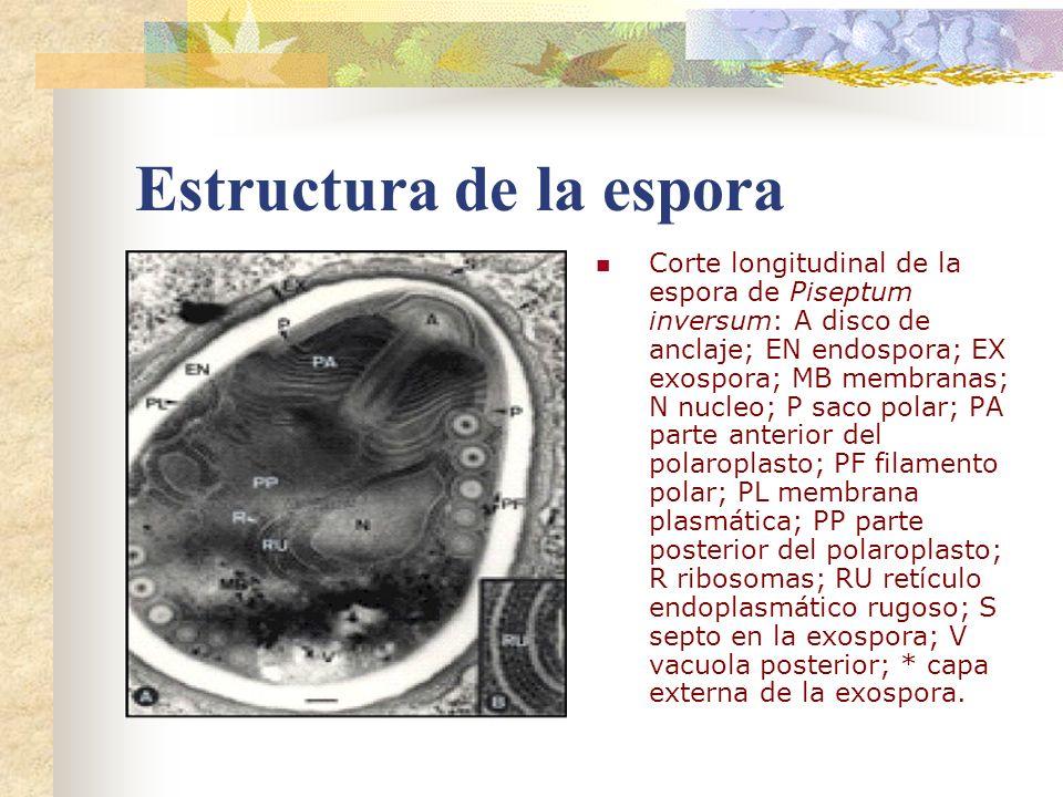 Estructura de la espora Corte longitudinal de la espora de Piseptum inversum: A disco de anclaje; EN endospora; EX exospora; MB membranas; N nucleo; P