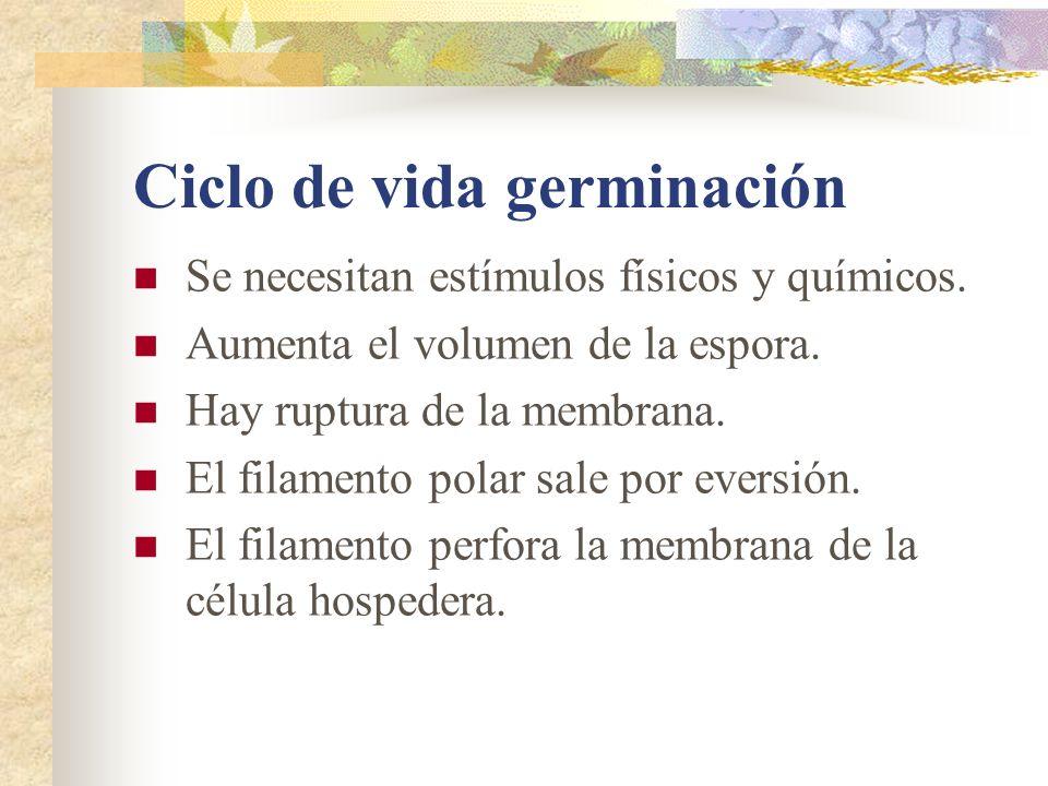 Ciclo de vida germinación Se necesitan estímulos físicos y químicos. Aumenta el volumen de la espora. Hay ruptura de la membrana. El filamento polar s