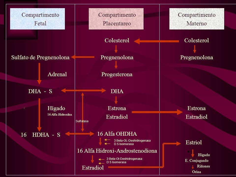 Compartimento Fetal Sulfato de Pregnenolona Adrenal DHA - S ´ Hígado 16 Alfa-Hidroxilsa 16 HDHA - S Compartimento Placentareo Colesterol Pregnenolona