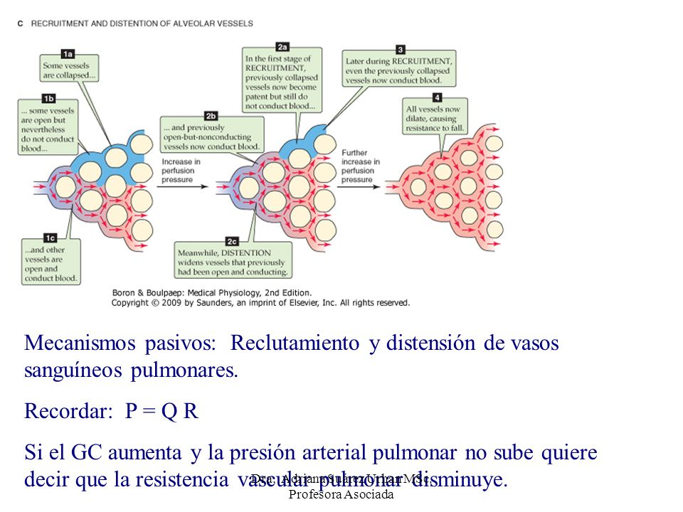 Mecanismos pasivos: Reclutamiento y distensión de vasos sanguíneos pulmonares. Recordar: P = Q R Si el GC aumenta y la presión arterial pulmonar no su