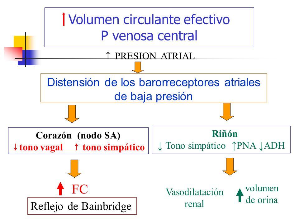 volumen de orina Distensión de los barorreceptores atriales de baja presión Corazón (nodo SA) tono vagal tono simpático PRESION ATRIAL FC Volumen circ