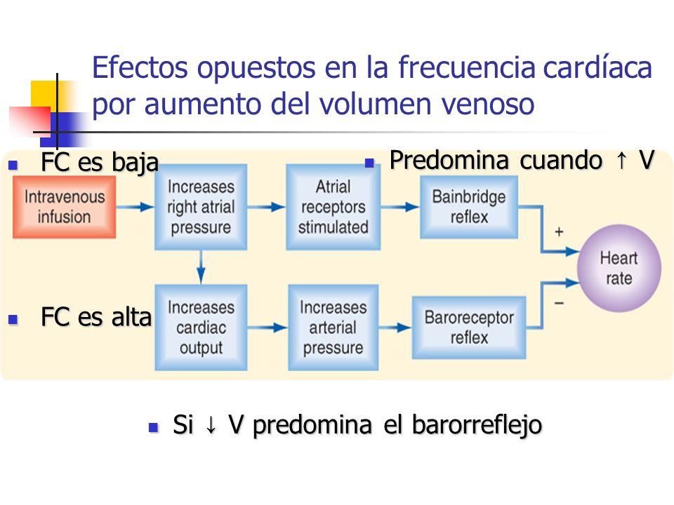 Efectos opuestos en la frecuencia cardíaca por aumento del volumen venoso FC es baja FC es baja FC es alta FC es alta Si V predomina el barorreflejo S