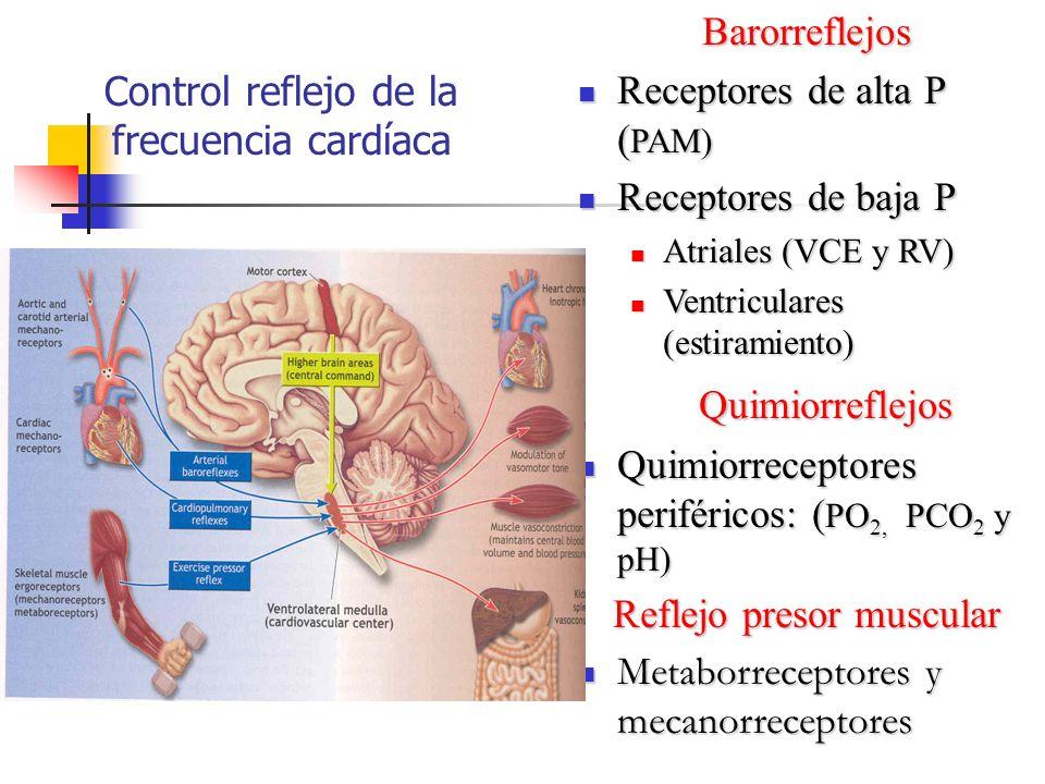 Control reflejo de la frecuencia cardíacaBarorreflejos Receptores de alta P ( PAM) Receptores de alta P ( PAM) Receptores de baja P Receptores de baja