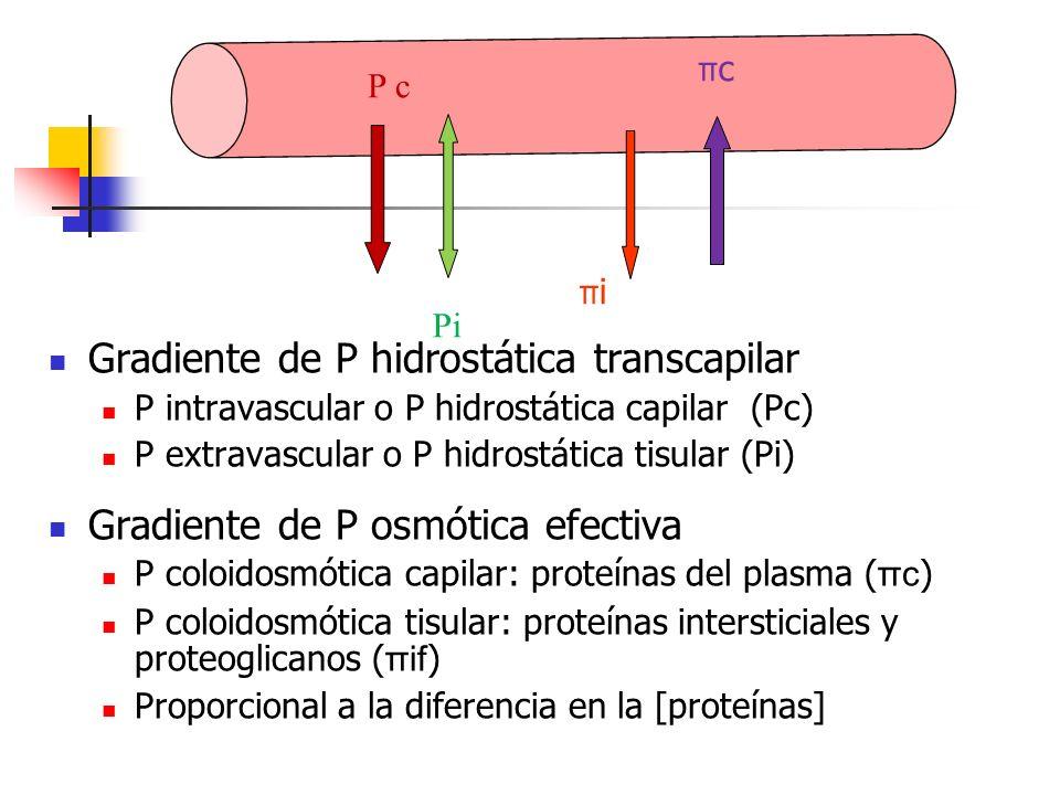 Gradiente de P hidrostática transcapilar P intravascular o P hidrostática capilar (Pc) P extravascular o P hidrostática tisular (Pi) Gradiente de P os