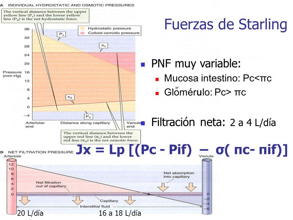 ultrafiltración reabsorción 20 L/día 16 a 18 L/día PNF muy variable: Mucosa intestino: Pc<πc Glomérulo: Pc> πc Filtración neta: 2 a 4 L/día Fuerzas de