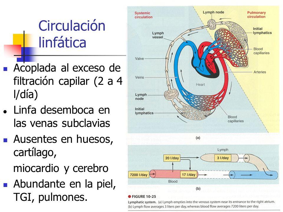 Circulación linfática Acoplada al exceso de filtración capilar (2 a 4 l/día) Linfa desemboca en las venas subclavias Ausentes en huesos, cartílago, mi