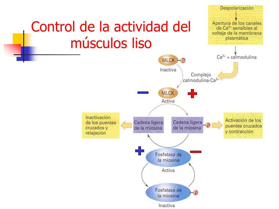 Control de la actividad del músculos liso