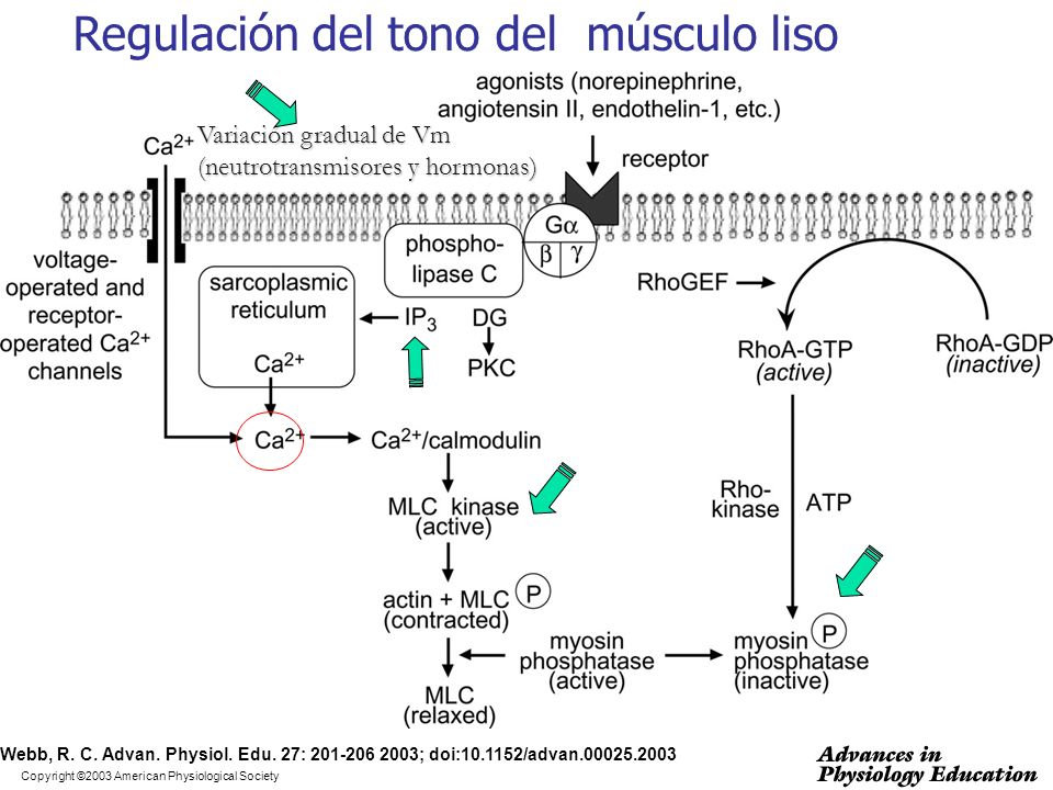 Copyright ©2003 American Physiological Society Webb, R. C. Advan. Physiol. Edu. 27: 201-206 2003; doi:10.1152/advan.00025.2003 Regulación del tono del