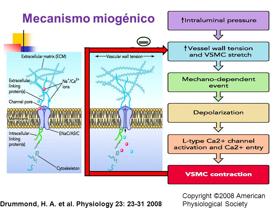 Copyright ©2008 American Physiological Society Drummond, H. A. et al. Physiology 23: 23-31 2008 Mecanismo miogénico