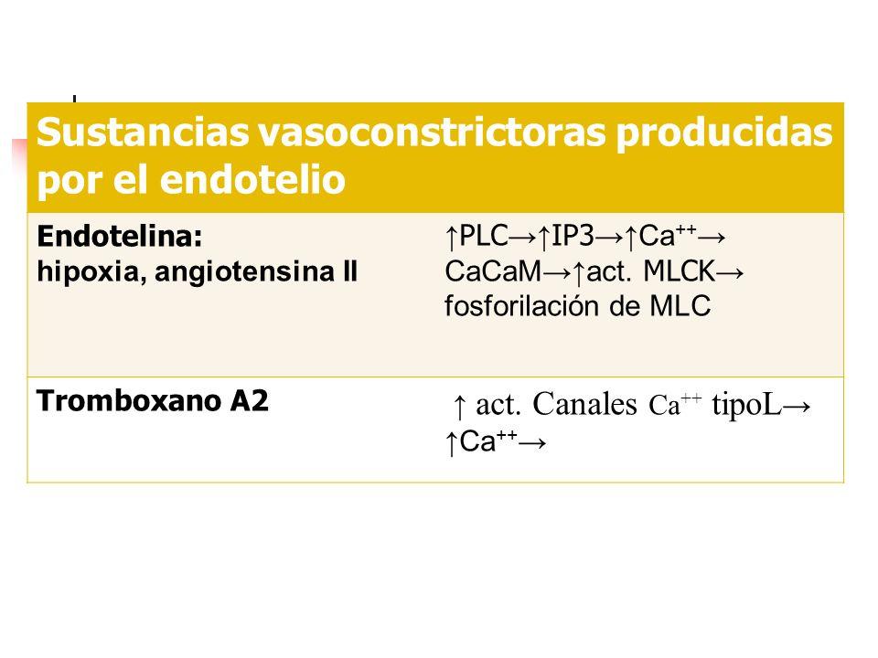 Sustancias vasoconstrictoras producidas por el endotelio Endotelina: hipoxia, angiotensina II PLC IP3 Ca ++ CaCaMact. MLCK fosforilación de MLC Trombo