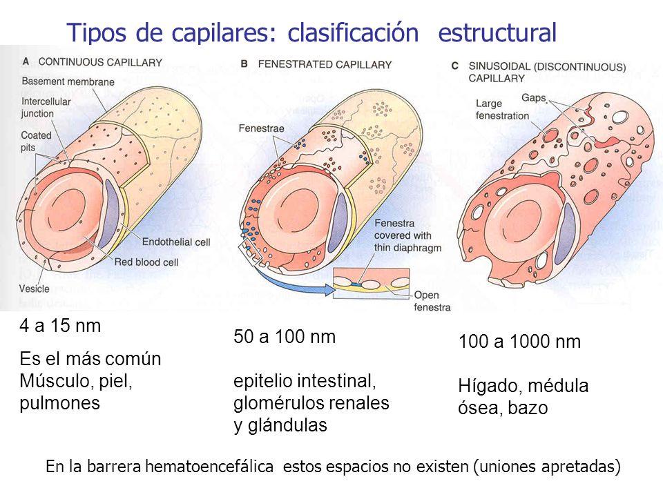 Tipos de capilares: clasificación estructural 4 a 15 nm Es el más común Músculo, piel, pulmones 50 a 100 nm epitelio intestinal, glomérulos renales y