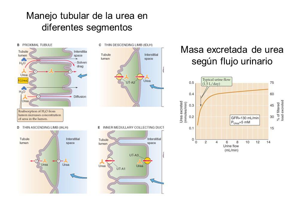 Manejo tubular de la urea en diferentes segmentos Masa excretada de urea según flujo urinario