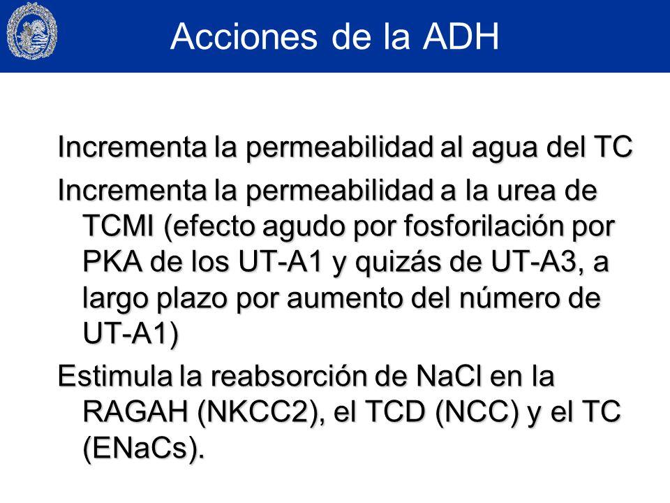 Acciones de la ADH Incrementa la permeabilidad al agua del TC Incrementa la permeabilidad a la urea de TCMI (efecto agudo por fosforilación por PKA de